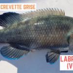Pêche d'un Labre Merle au Tenya - 8 janvier 2020